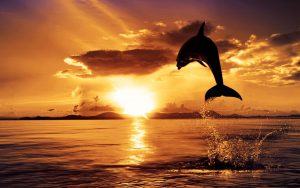 6980646-dolphin-in-sunset