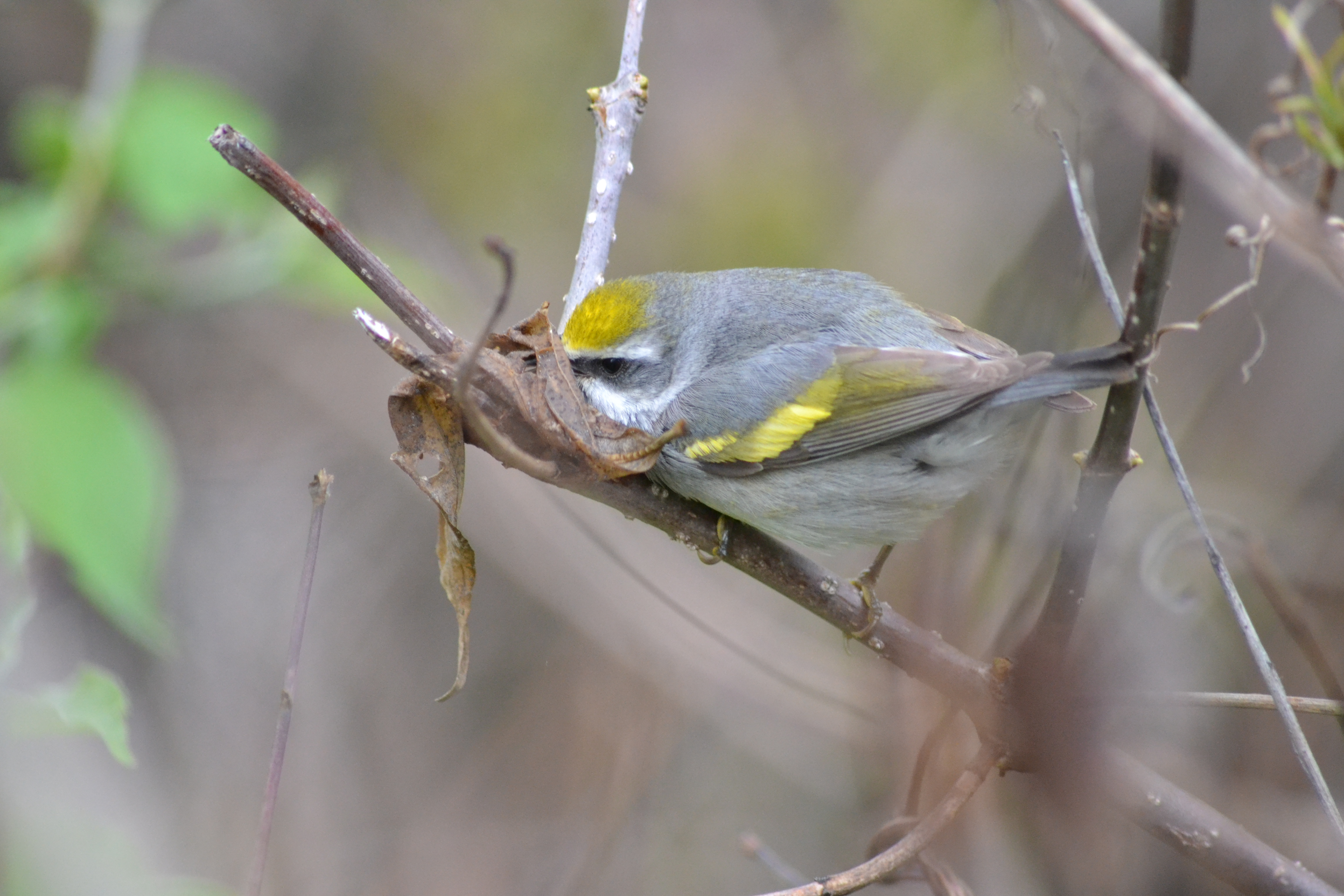 golden-winged_warbler_vermivora_chrysoptera_14023132080