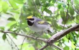 golden-winged_warbler_vermivora_chrysoptera_8732012715