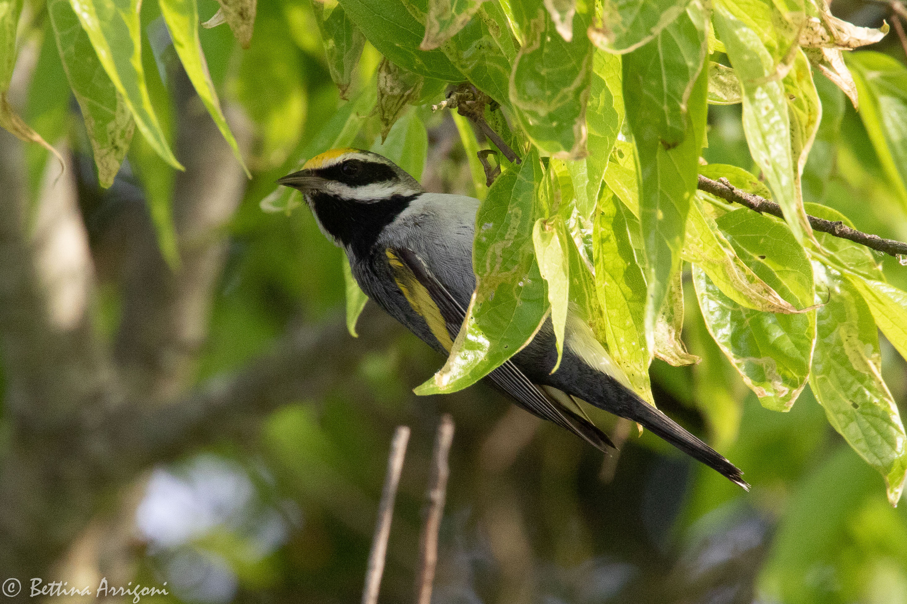 golden-winged_warbler_male_sabine_woods_tx_2018-04-28_06-56-29_28327931988