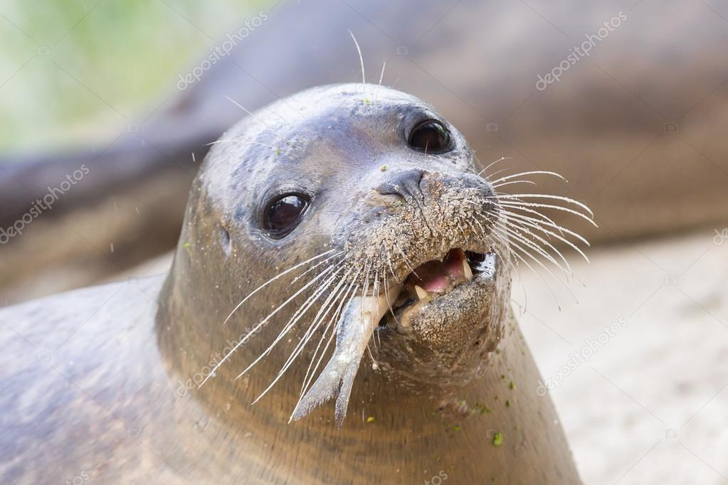 depositphotos_126015278-stock-photo-sea-lion-closeup-eating-fish