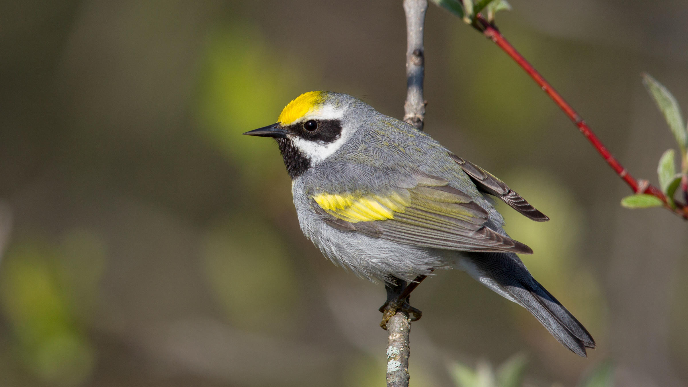 web_golden-winged-warbler-_apa_2016-a1_2794_1_golden-winged-warbler_arni_stinnissen_kk