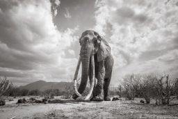 A remarkable cow tusker photographed in Tsavo with BeetleCam. In partnership with Tsavo Trust. This image is from my new book, Land of Giants.